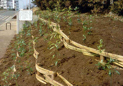 *Topsoli was added, and potted seedlings of the main species from the potential natural vegetation were mixed and planted closely.(Jun. 1978)